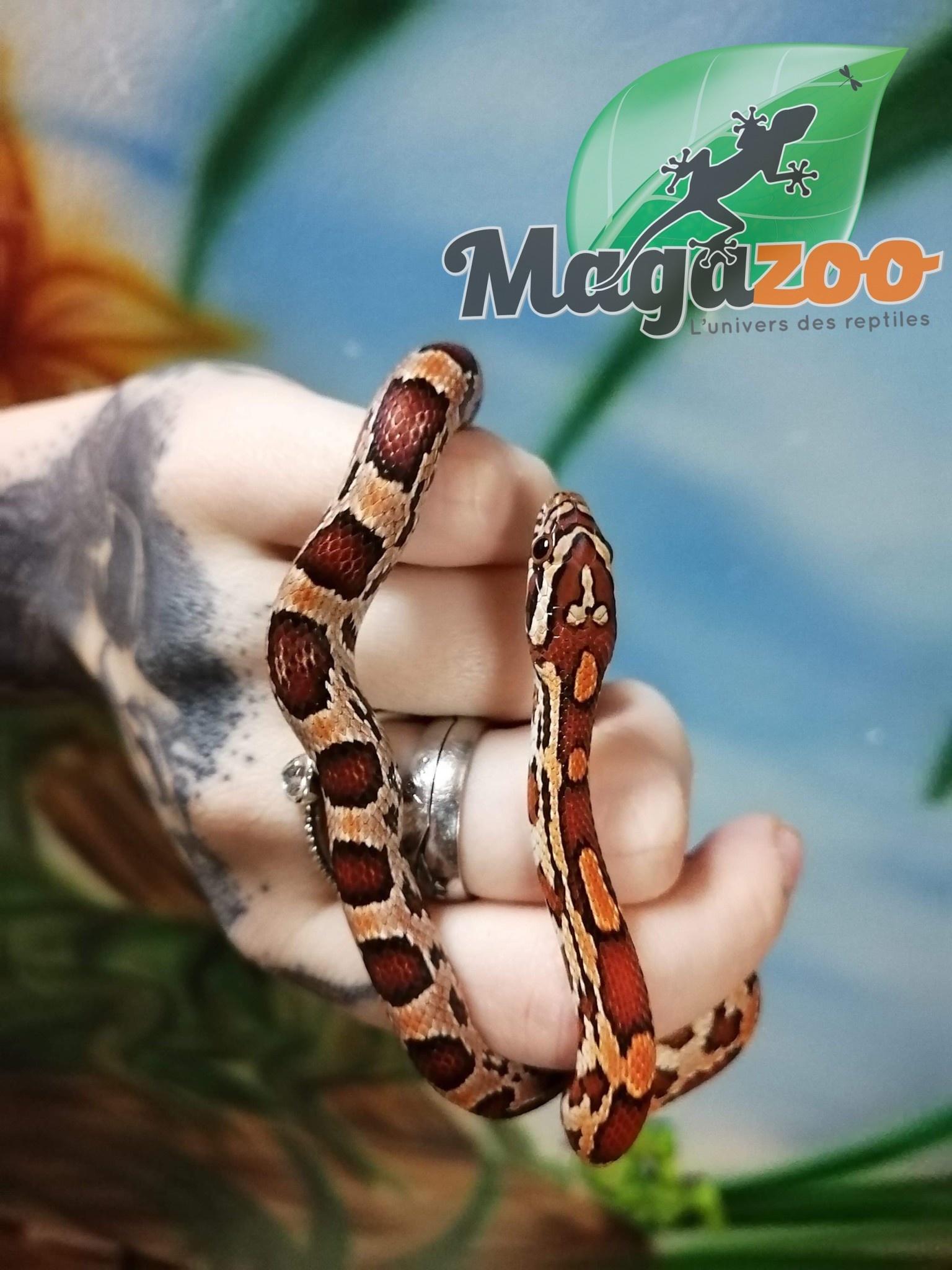 Magazoo Serpent des blés Het-Scaleless Okeetee femelle