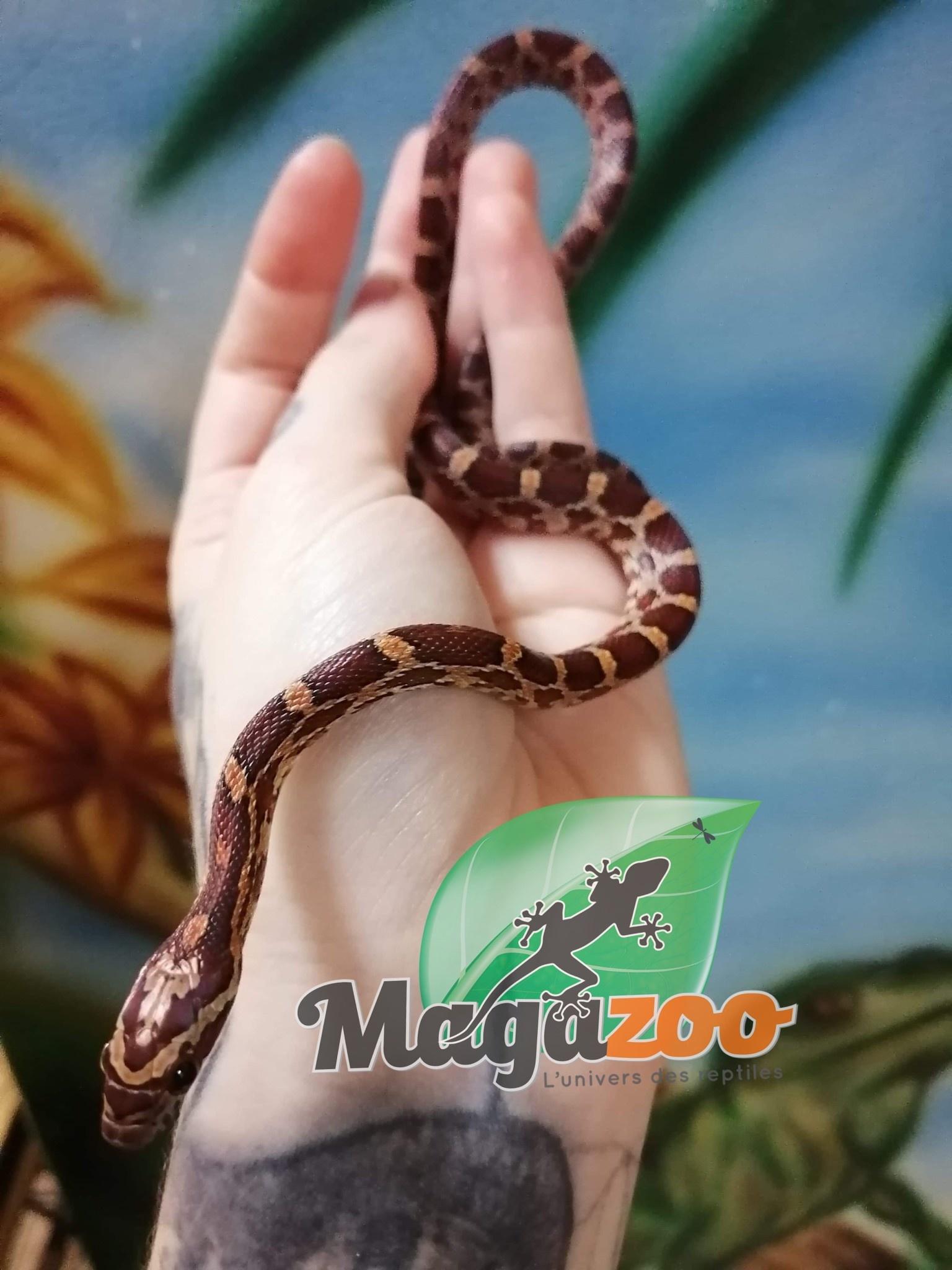 Magazoo Serpent des blés Het-Scaleless Diffuse hypo Mâle