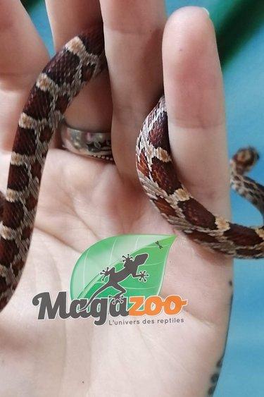 Magazoo Serpent des blés Het-Scaleless Blood femelle
