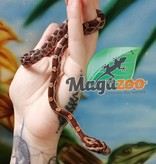 Magazoo Serpent des blés Het-Scaleless Blood femelle