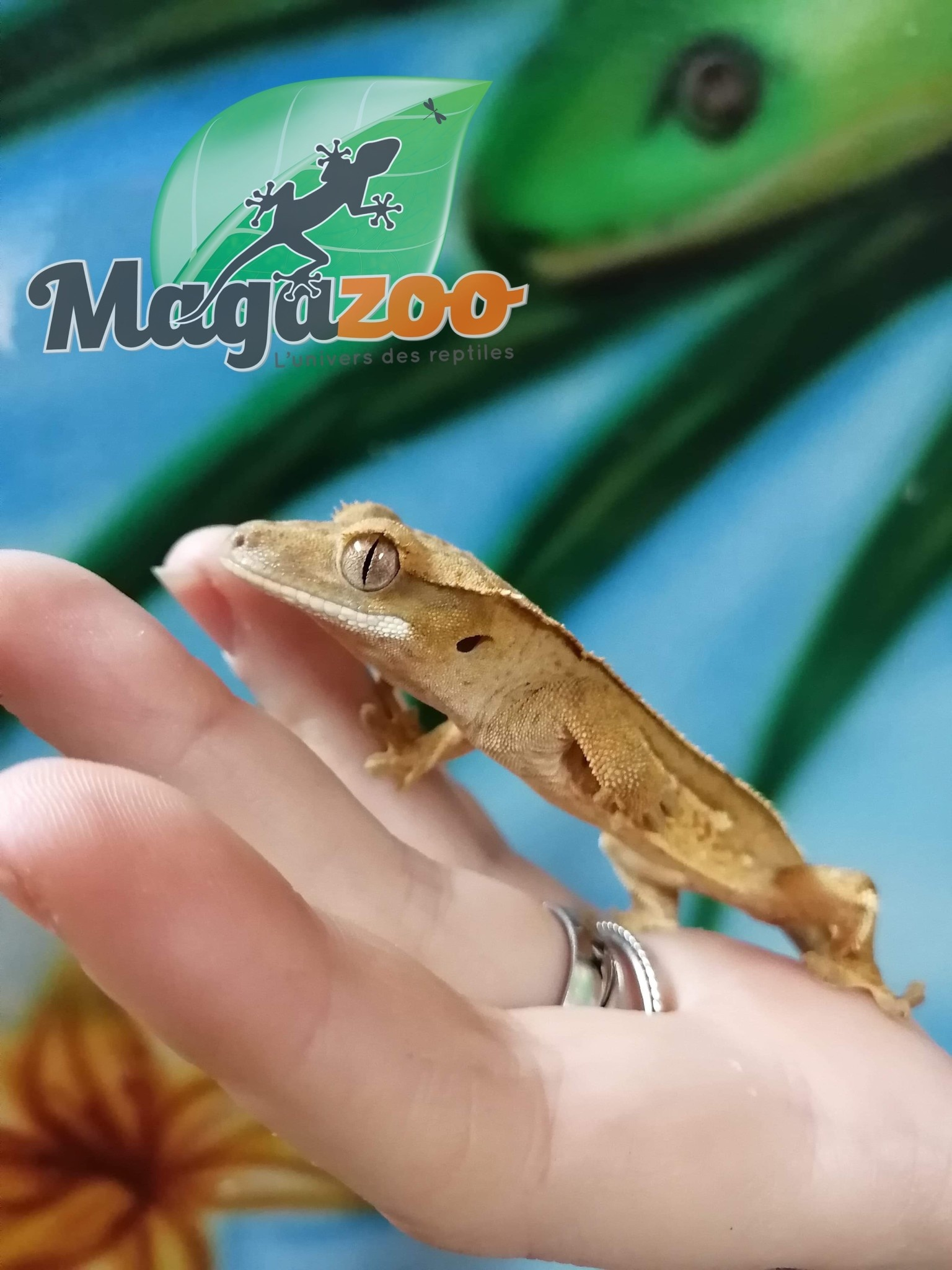 Magazoo Gecko à Crête Arlequin Juvénile