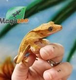 Magazoo Gecko à Crête Pinstripe Juvénile
