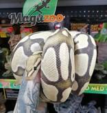 Magazoo Python Royal Enhancer Mâle
