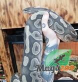 Magazoo Python Royal Cinnamon Hypo Mâle