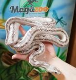 Magazoo Serpent ratier licorice noir mâle