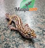 Magazoo Gecko léopard femelle Adulte Adoption - 2ième chance