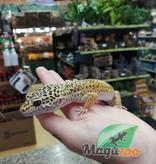 Magazoo Gecko léopard Mâle Adulte (Queue repoussée)