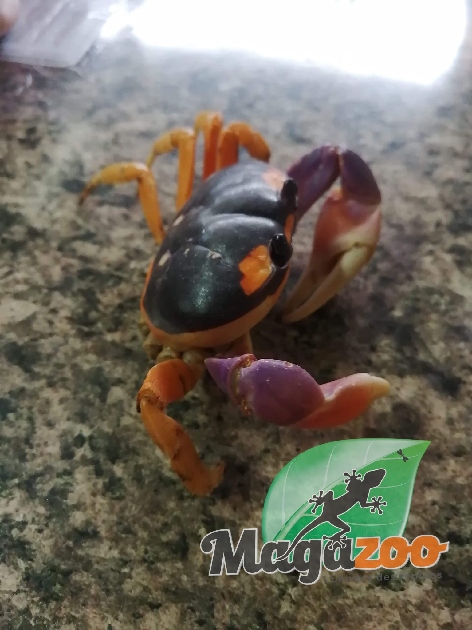 Magazoo Crabe Halloween Adoption - 2ième chance
