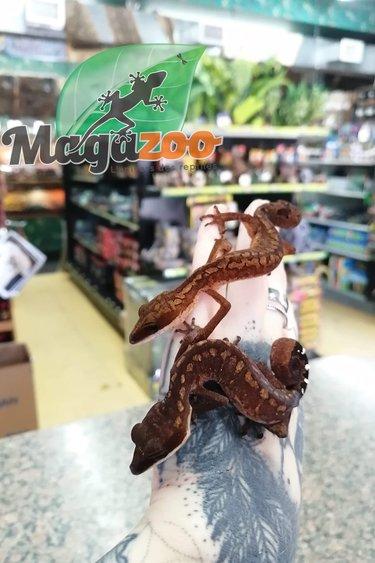 Magazoo Gecko aux yeux de chat (Mâle)