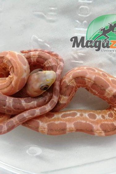 Magazoo Serpent Ratier des Everglade's Scaleless Femelle Bébé