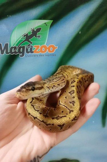Magazoo Python Royal Lemonblast Asphalt/YB Mâle Juvénile
