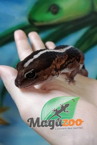 Magazoo Gecko à queue grasse ligné Femelle adulte (Repousse de queue)