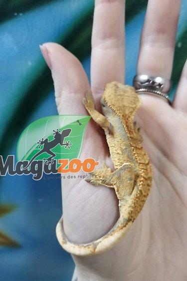 Magazoo Gecko a crête Bicolor Pinstripe Juvénile