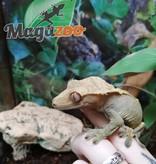 Magazoo Gecko à crête Femelle Adulte
