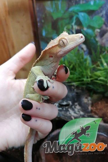 Magazoo Gecko à Crête Mâle Adulte