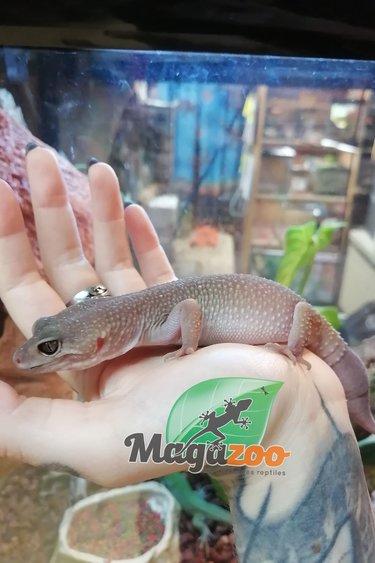 Magazoo Gecko léopard Blizard Femelle Sub-Adulte (Queue repoussée)
