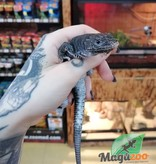 Magazoo Lacerta Ocellé Mélanistique Male Juvénile (né en captivité)