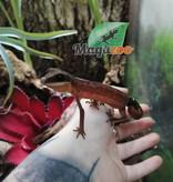 Magazoo Gecko aux yeux de chat (Femelle)