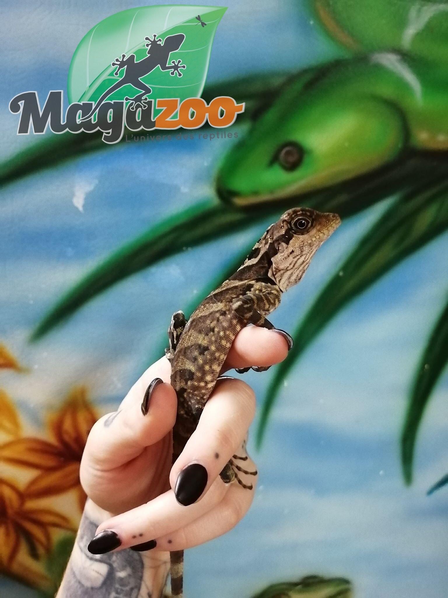 Magazoo Dragon géant de forêt (Vendu en Couple)
