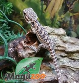 Magazoo Dragon Barbu Leatherback orange  Bébé Mâle