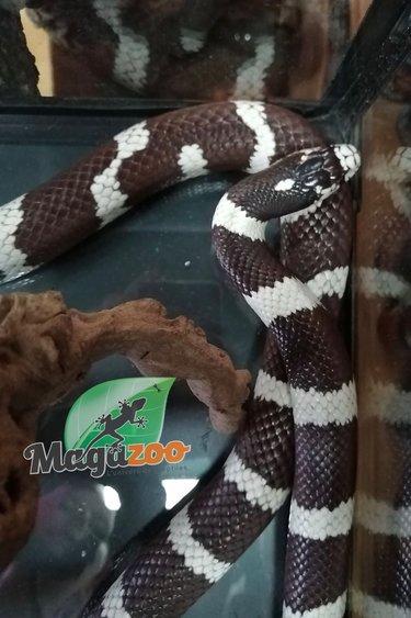 Magazoo Serpent roi de Californie du désert Mâle