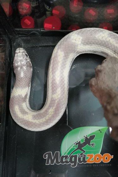 Magazoo Serpent roi de Californie Lavander Paradoxe Mâle