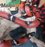 Magazoo Serpent Laitier du Sinaloan Mâle