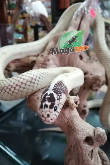 Magazoo Serpent roi de Californie Super Banana mâle