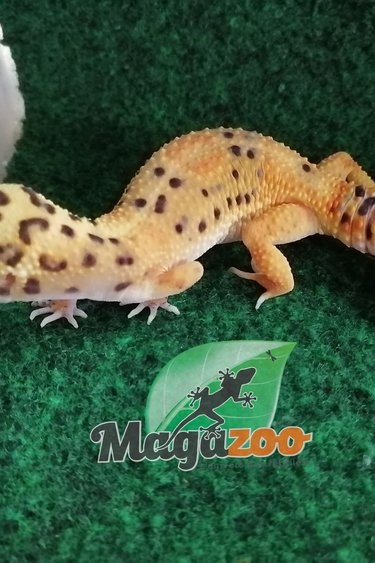 Magazoo Gecko Léopard Femelle Sub-Adulte