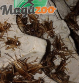 "Magazoo Grillon grosseur 1"" - Cricket"