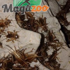 """Magazoo Grillon grosseur 1/2"""" – Cricket"""