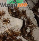 """Magazoo Grillon grosseur 3/4"""" – Cricket"""