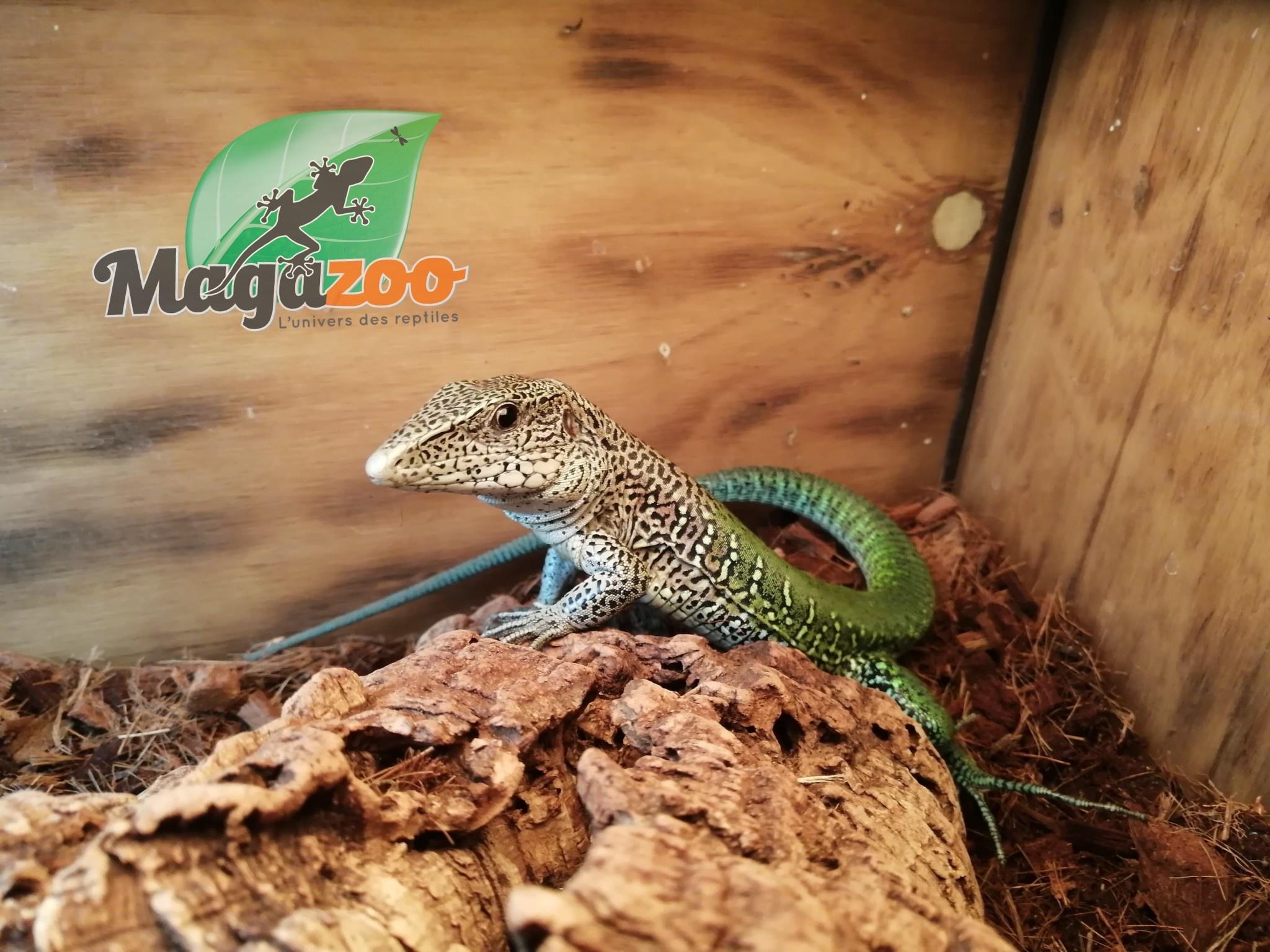 Magazoo Ameive Giant vert mâle sub-adulte