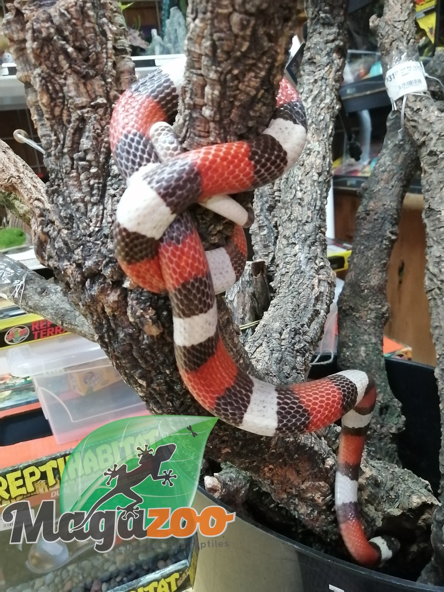 Magazoo Serpent Laitier Pueblan Mâle
