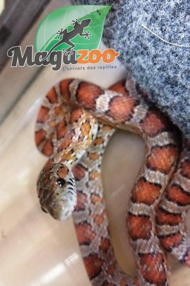 Magazoo Serpent des blés Mâle Juvénile