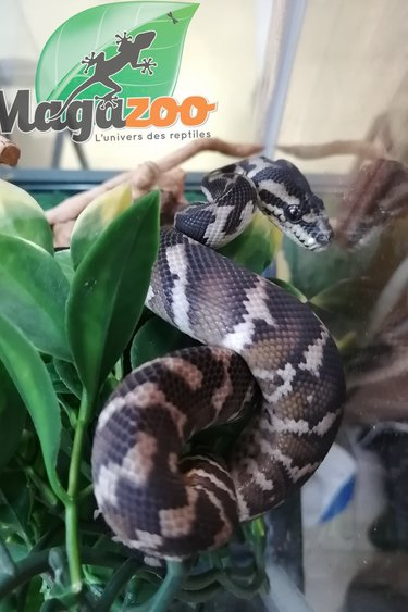 Magazoo Python tapis irian jaya mâle bébé
