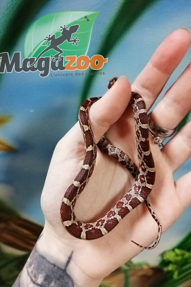 Magazoo Serpent des blés Het Scaleless diffused Hypo Bébé Femelle