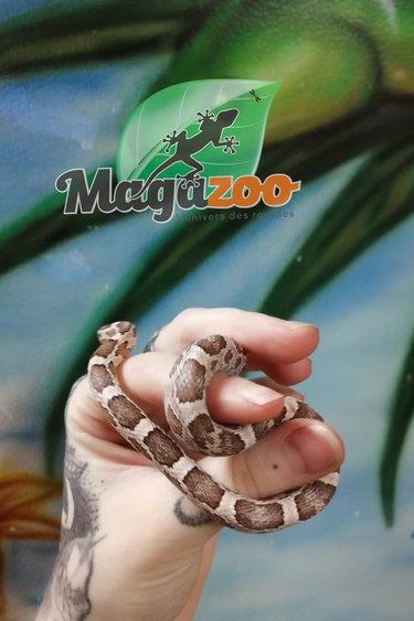Magazoo Serpent des Blés Ghost Het Scaleless Bébé Mâle