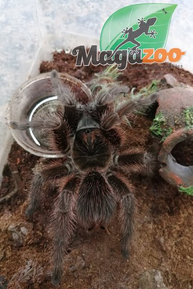Magazoo Mygale d'Haiti (+12cm) (possible mâle)/ Phormictopus cancerides