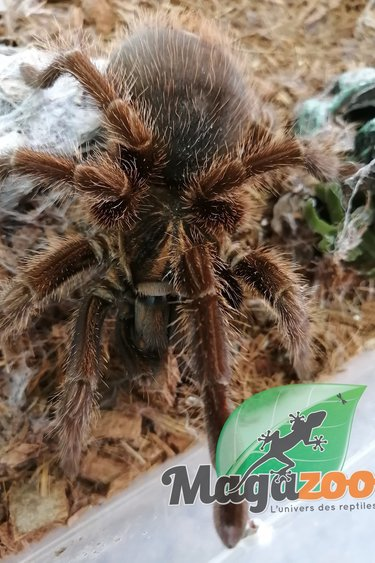 Magazoo Mygale d'Haiti (+12cm)(possible femelle)/Phormictopus cancerides