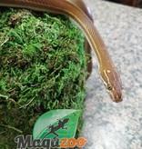 Magazoo Serpent Des Maisons Africain Juvénile femelle