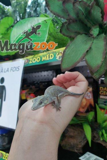 Magazoo Gecko gargouille (Queue repoussée) Bébé