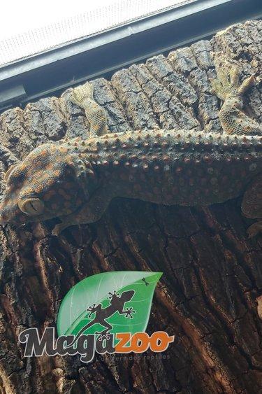 Magazoo Gecko tokay Mâle