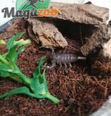 Magazoo Scorpion empereur (Bébé)/Pandinus imperator