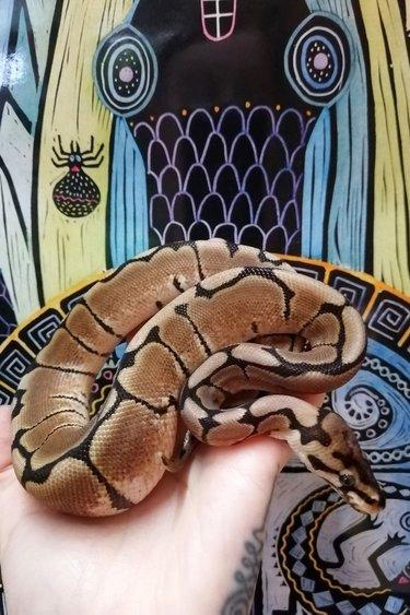 Magazoo Python Royal Spider Mâle Bébé