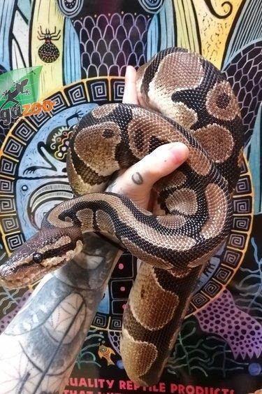 Magazoo Python Royal Mâle Adulte (14 ans) Adoption - 2ième chance