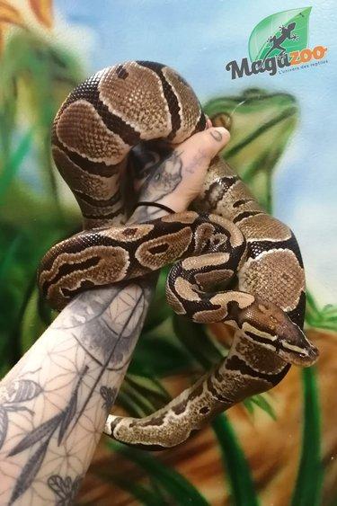 Magazoo Python Royal Mâle Adulte (9 ans) Adoption - 2ième chance