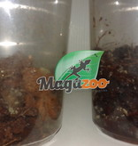 Magazoo Culture  Collembole Giant Silver T.vulgaris