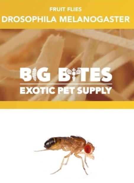 Big Bites Culture  Mouche Melanogaster