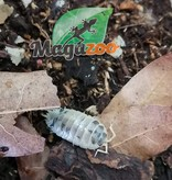 Magazoo Culture  de Cloporte  Isopod Dairy Cow 15 pack